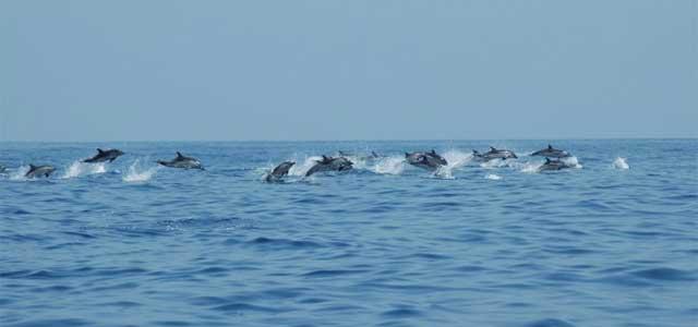 cetacea liguria - photo#2
