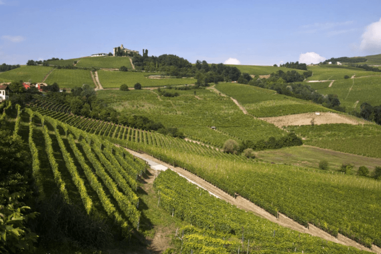 Vineyards in Langhe-Phalaenopsis Aphrodite