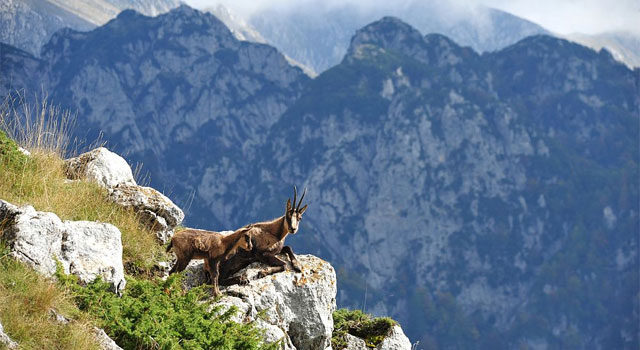 The Apennine chamois thrives in its pristine habitat - image from naturamediterraneo.com