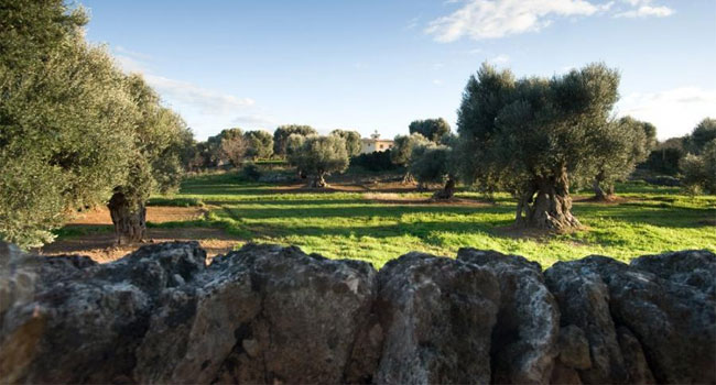 Team building in Apulia - Centuries-old olive groves in the Itria Valley - image from joinitaly.com