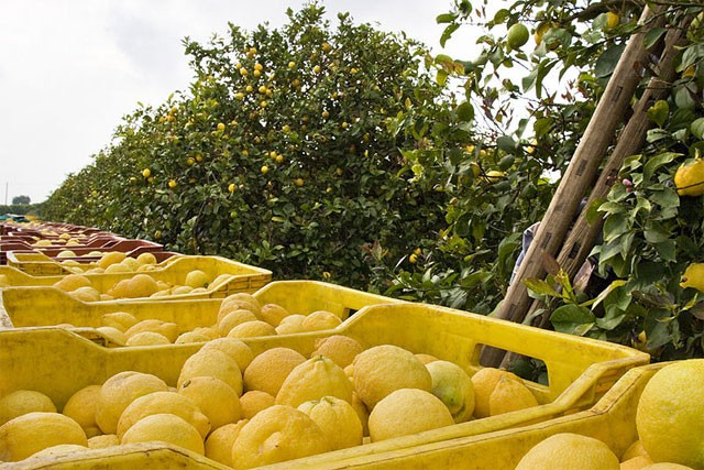 Organic lemons' harvest, image from siciliafan.it