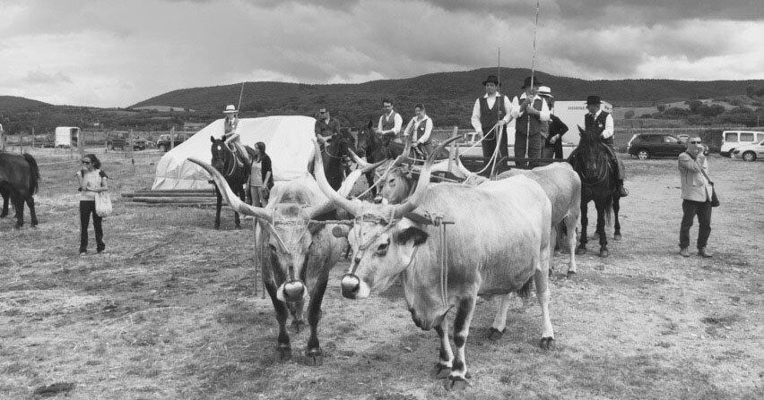 Maremmana cattle and Butteri