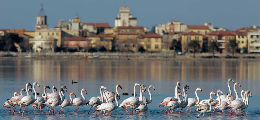 Pink Flamingos in Orbetello Lagoon